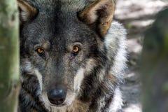 狼头和眼睛 免版税库存图片