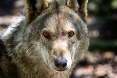 狼头和眼睛 库存图片