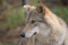 狼画象 图库摄影