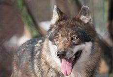 狼画象 免版税库存照片