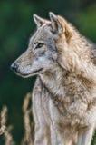 狼画象 库存照片
