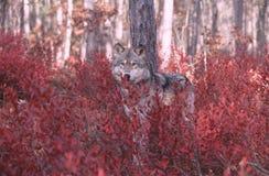 狼 免版税库存照片