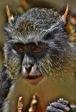 狼` s猴子长尾猴属wolfi 库存图片