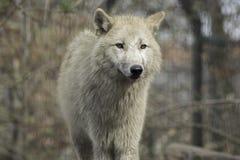 狼canus狼疮灰色和白色Hudson湾 免版税图库摄影