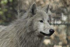 狼canus狼疮灰色和白色Hudson湾 库存照片