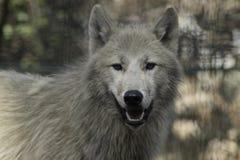 狼canus狼疮灰色和白色Hudson湾 免版税库存图片