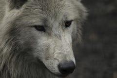狼canus狼疮灰色和白色Hudson湾 免版税库存照片