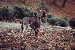 猎人狗 免版税库存照片