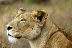 猎人狮子ngorongoro纵向 免版税库存照片