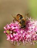 猎人花粉 免版税库存照片