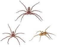 猎人蜘蛛隔离 免版税图库摄影