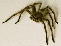 猎人蜘蛛 免版税图库摄影