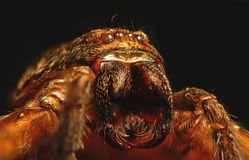 猎人蜘蛛 免版税库存照片