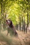 猎人` s狗在森林 库存图片
