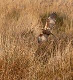 猎兔犬狩猎沼泽 免版税库存图片