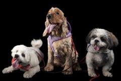 猎犬和拉萨Apsos 库存照片