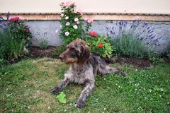 猎犬在晴天,德国硬毛的尖 免版税库存图片