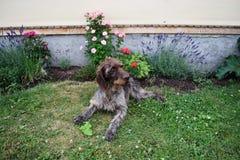 猎犬在晴天,德国硬毛的尖 库存照片