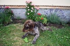 猎犬在晴天,德国硬毛的尖 图库摄影