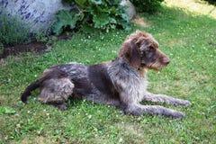 猎犬在晴天,德国硬毛的尖 免版税库存照片