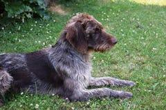 猎犬在晴天,德国硬毛的尖 库存图片