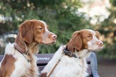 猎犬坐分支在公园 库存照片