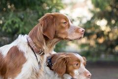 猎犬坐分支在公园 图库摄影