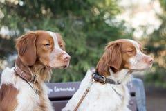 猎犬坐分支在公园 免版税库存图片