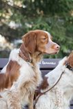 猎犬坐分支在公园 免版税图库摄影