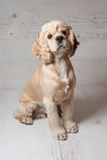 猎犬坐轻的背景 库存图片