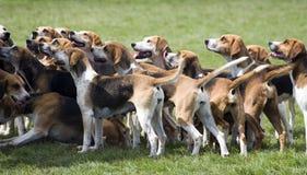 猎犬寻找准备好 免版税库存图片