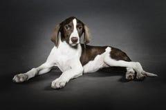 猎犬小狗 免版税库存照片