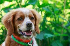 猎犬布里坦尼西班牙猎狗 库存图片