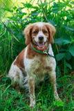 猎犬布里坦尼西班牙猎狗 免版税库存照片