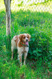 猎犬布里坦尼西班牙猎狗 库存照片