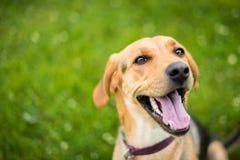 猎犬拉布拉多猎犬被混合的品种微笑 免版税库存照片