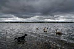 猎犬游泳在湖 免版税库存图片
