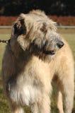 猎犬爱尔兰常设狼 免版税库存图片