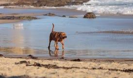 猎犬狗奔跑 免版税库存图片