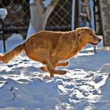 猎犬狗赛跑 免版税库存图片