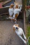 猎犬狗 免版税库存照片