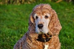 猎犬的画象 库存照片