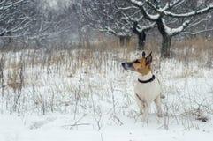 猎犬,狐狸狗,在雪站立 松鸡爱本质歌曲通配木头 免版税图库摄影