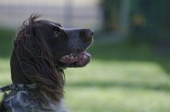 猎犬画象 库存照片