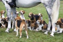 猎犬 图库摄影
