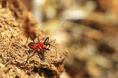 猎蝽攻击白蚁 免版税库存图片
