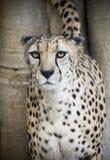 猎豹举它的在树的尾巴,指示它的疆土 库存照片