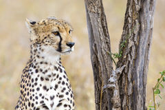 猎豹休息在树下在塞伦盖蒂 免版税库存图片