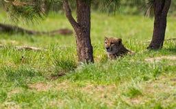 猎豹休息的树荫 免版税库存照片
