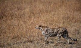 猎豹偷偷靠近 库存照片